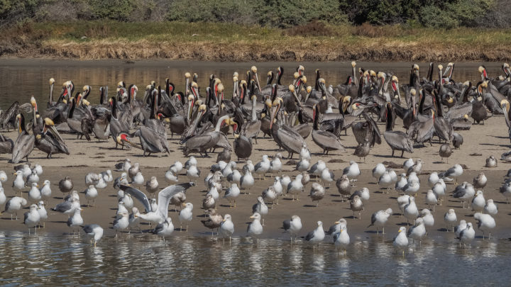 Large flocks of Brown Pelicans and gulls in California, United States.