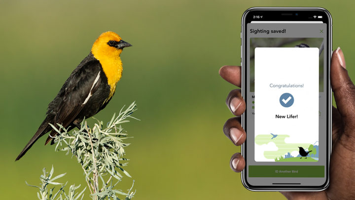 Yellow-headed Blackbird perched on a plant.