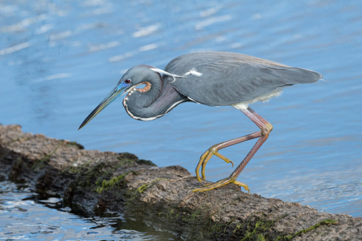 Tricolored Heron on a log hunting for fish.