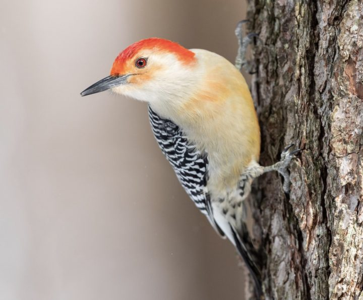 Red-bellied Woodpecker hanging on a tree.