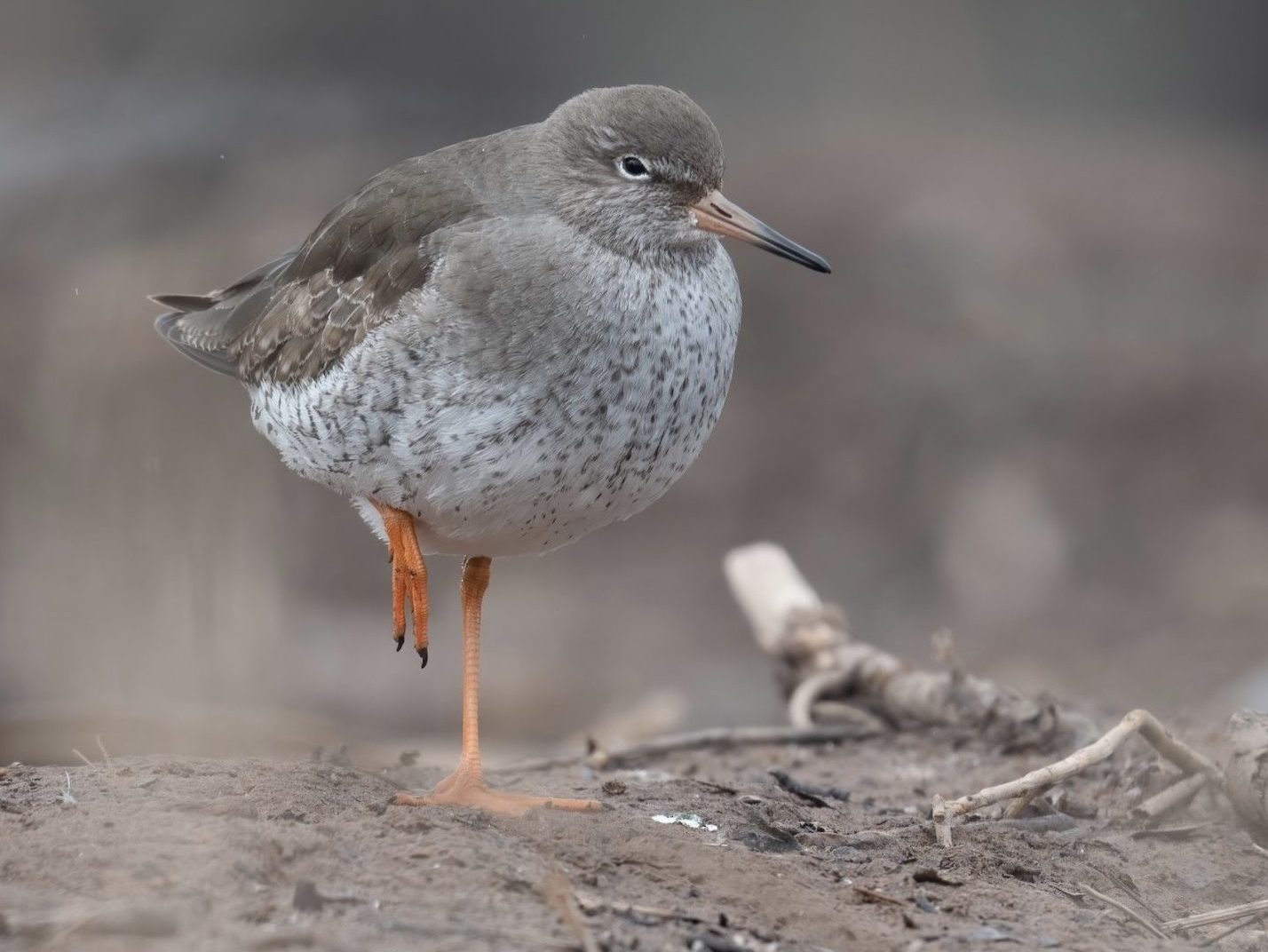Common Redshank on one foot